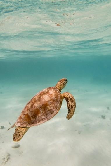 A lone sea turtle underwater in Vanuatu